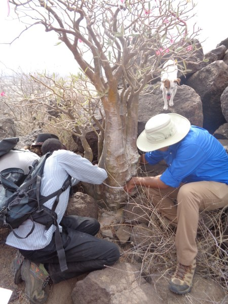 Dr. Martins assists the students in measuring the circumference of this desert rose as Barabara approvingly looks on.