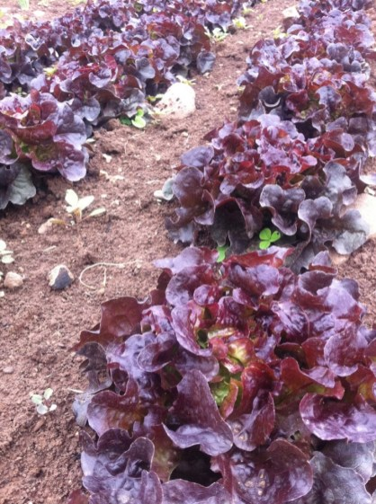 These red lettuce are in the same bed as the previously pictured green lettuce - apparently the rabbit doesn't like eating red lettuce. These will be in the 1st boxes!