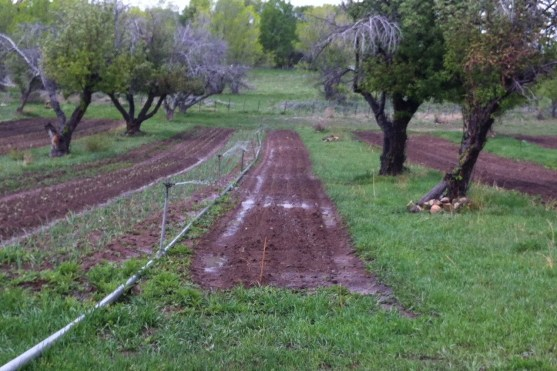 look close for the thin line of green crop -thats spinach. garlic to the left
