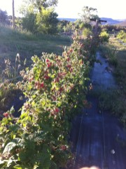 Here come the berries