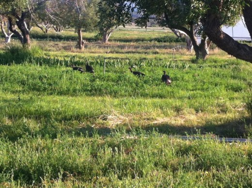 The turkeys have their babies this time of year, but they are hidden in the grass.