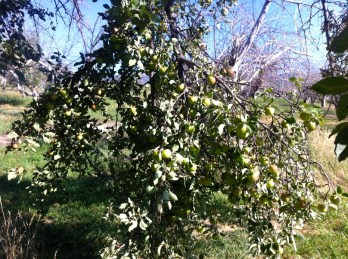 The apple tree near the harvest area - so loaded with apples, an entire limb broke off.