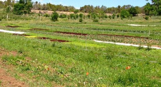a view across the field, salad, lettuce, broccoli, chard, kale, cauliflower