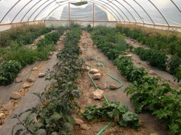 the inner hoop house - eppplant, peppers, tomatoes