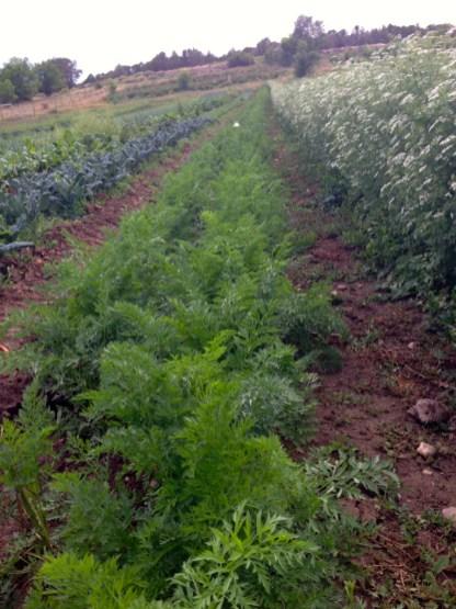 carrots and cilantro