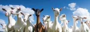 keçiler