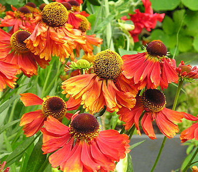 Image result for helenium 'moerheim beauty'