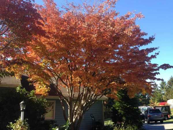 ornamental trees southeastern
