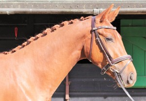 Faris Reah 2011 gelding by UCS Flawless