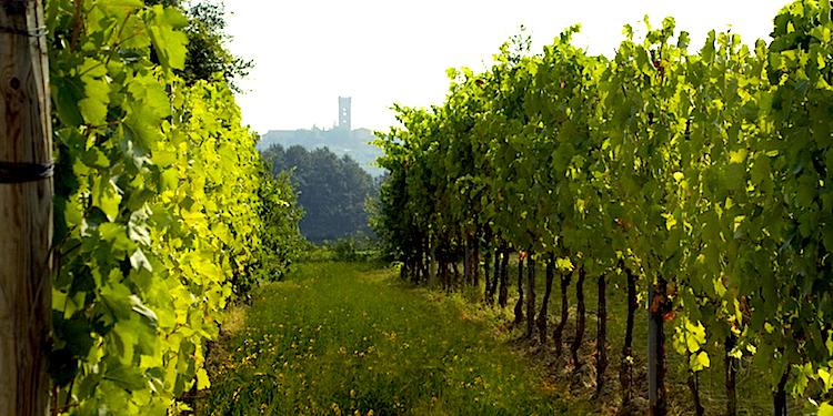 Nel borgo toscano di Montecarlo di Lucca si produce un ottimo vino