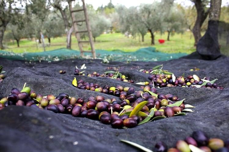 L'olio toscano è uno dei prodotti di eccellenza dell'enogastronomia della Toscana.Conosciuto in tutto il mondo, scopriamo come viene prodotto