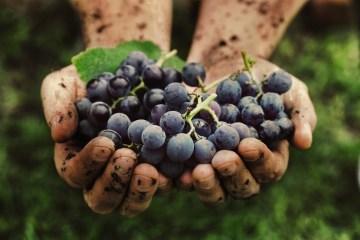 La vendemmia in Toscana affonda le radici nella cultura di questa terra. Dagli Etruschi ai giorni nostri vi raccontiamo la sua storia