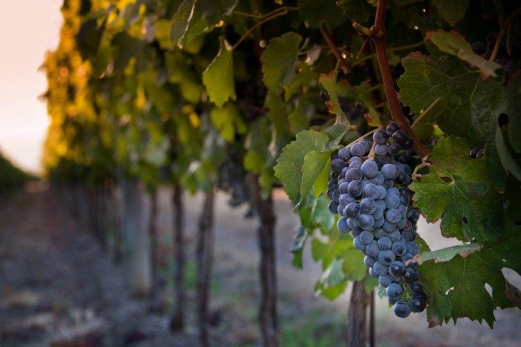 La DOC di Bolgheri è oggi una delle Denominazioni di Origine più importanti della Toscana, grazie anche al lavoro delle aziende biodinamiche
