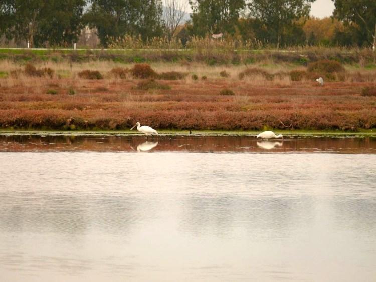 Esemplare di spatole nell'oasi del WWF vicino Piombino