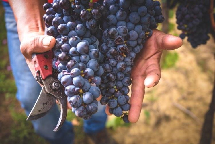 Grappolo d'uva matura durante la vendemmia