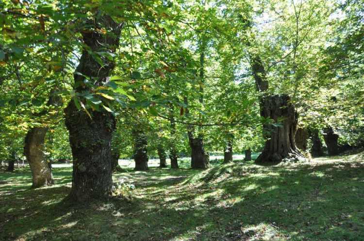 Alberi nel Parco dell'Orecchiella, riserva naturale in Garfagnana, Toscana