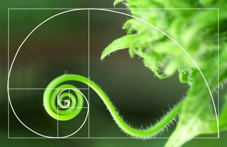 La sezione aurea nella spirale formata da un convolvolo di vite