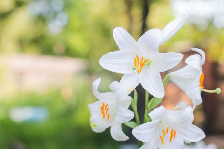 Fiori di giglio bianco in un giardino