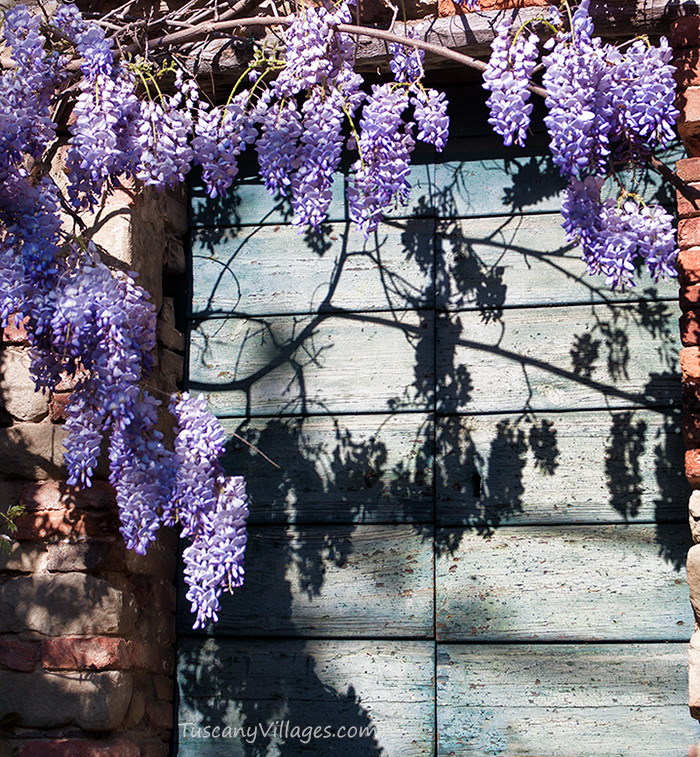 Collodi Village - Wisteria