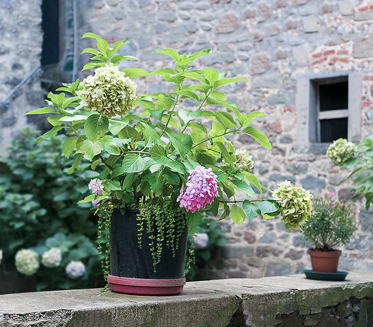 Hydrangea flowers in Stiappa
