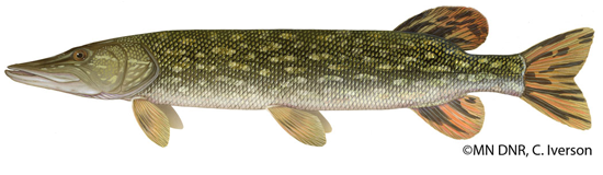Click for more northern pike information from the MN DNR.