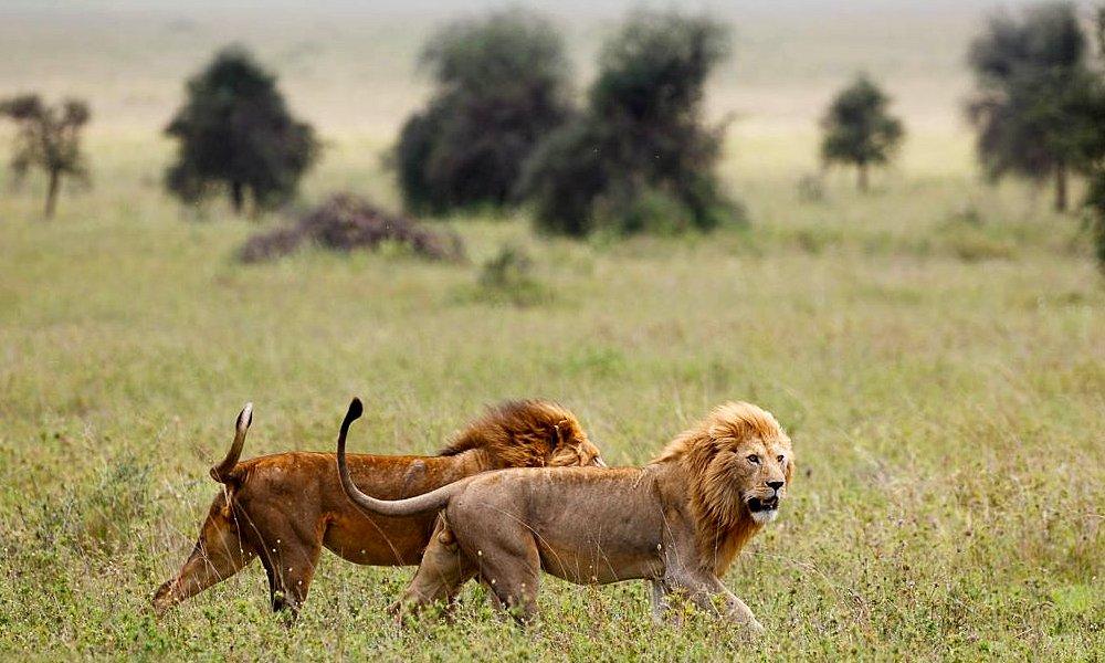 Kilimanjaro Safari Great Migration