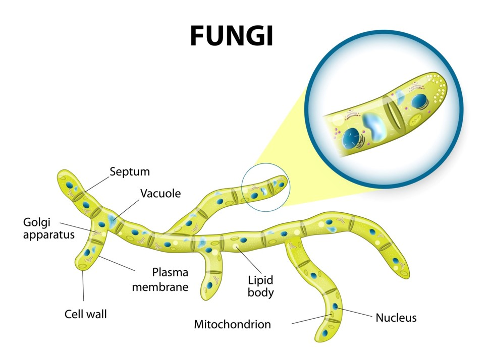 fungus cell diagram labeled shopping uml sequence examples fungi - structure and growth