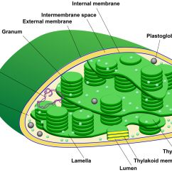 Inside Of A Leaf Diagram State Library Management System Eukaryotes Plastids