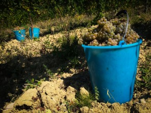 Bucket by bucket... 3.75 tons of grapes