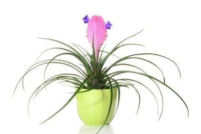 piante da appartamento Tillandsia cyanea