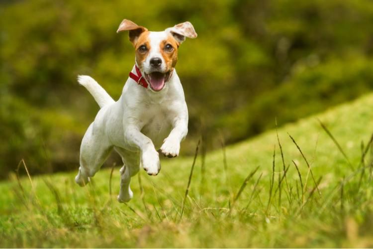Jack Russell Terrier, carattere, addestramento e prezzo dei cuccioli