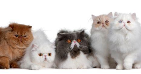Gatti persiani carattere foto e salute dei mici