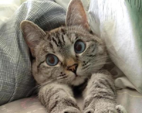 Gatti dagli occhi azzurri 10 bellissime foto  Tutto Zampe