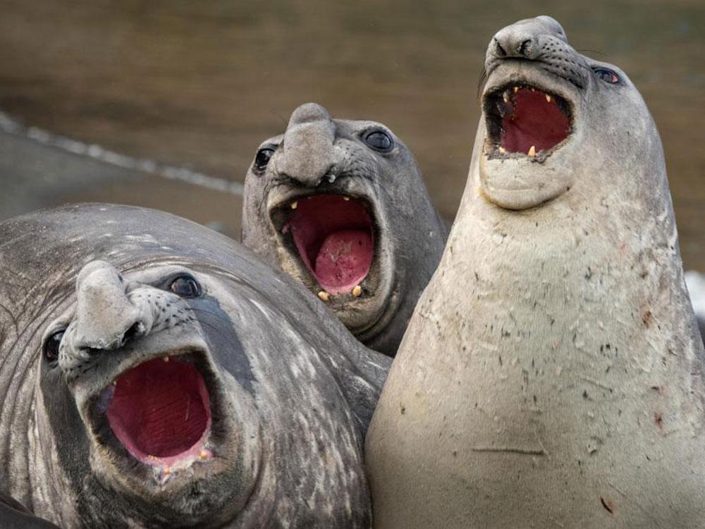 los elefantes marinos más divertidos del mundo