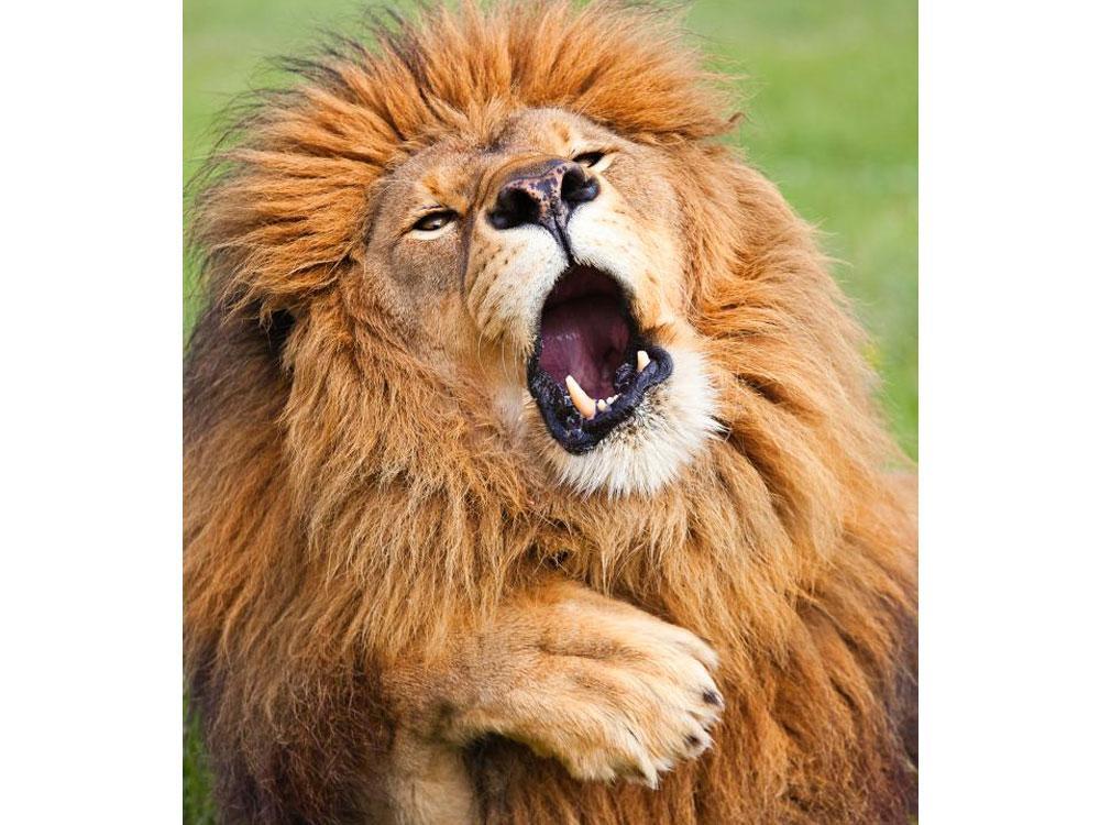 El león que se aburre mientras le tomas fotos