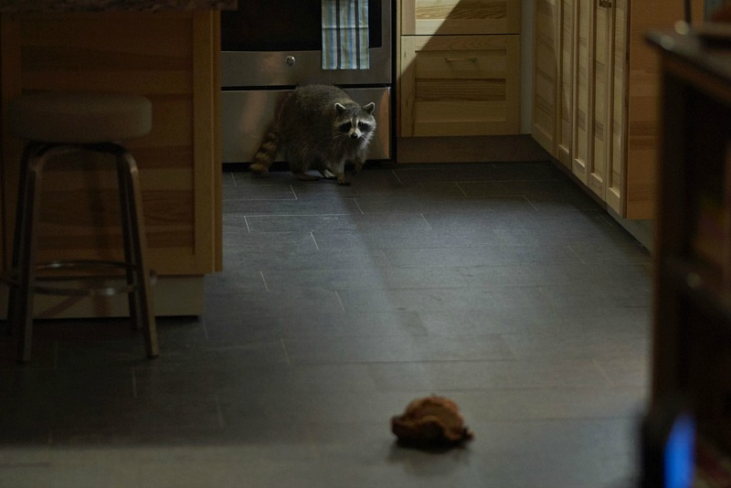 One of many raccoon co-stars