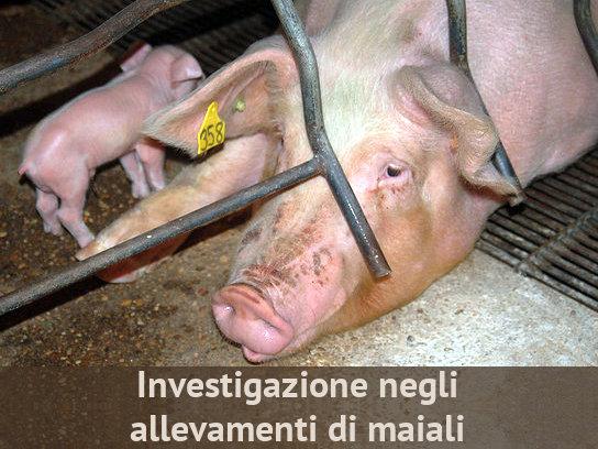 Investigazione negli allevamenti di maiali Investigazioni