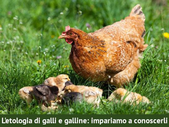 Letologia di galli e galline impariamo a conoscerli SpotFilmati brevi su Scelta vegan