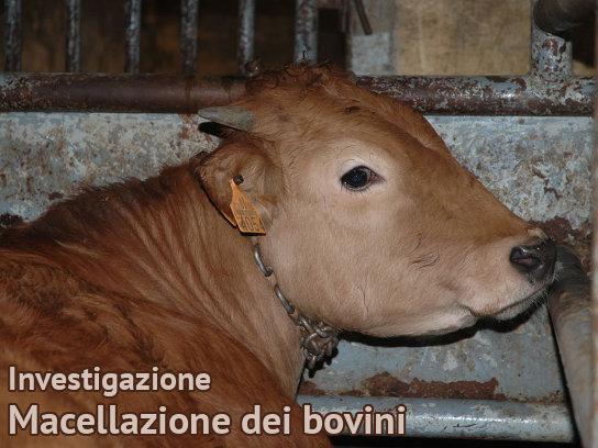 Macellazione dei bovini Investigazioni su Allevamenti e