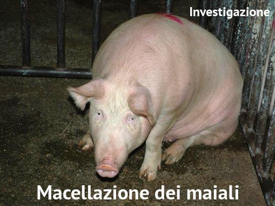 Macellazione dei maiali Investigazioni su Allevamenti e