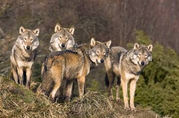 Manada lobos