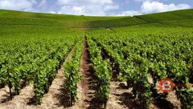 Photo of La Junta aprueba la Orden que permitirá realizar nuevas plantaciones vitícolas