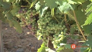 Photo of Las indemnizaciones por siniestros en uva serán de 75,4 millones de euros