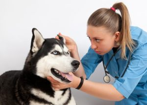 Otite canina por Dra. Ana Carolina