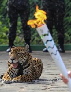 Le Jaguar Juma est photographié lors du relais flamme olympique à Manaus, au Brésil, le 20 Juin, 2016