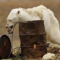 NON l'ours polaire agonisant n'est pas lié au changement climatique