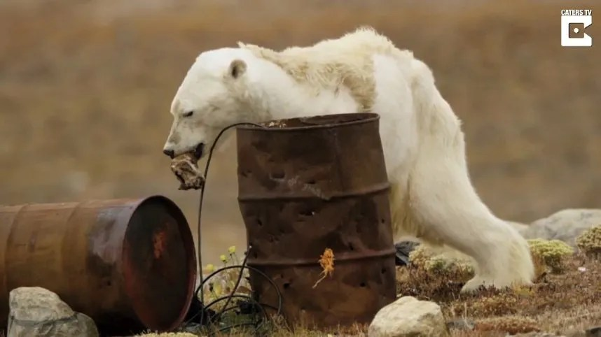 ours polaire très maigre et agonisant