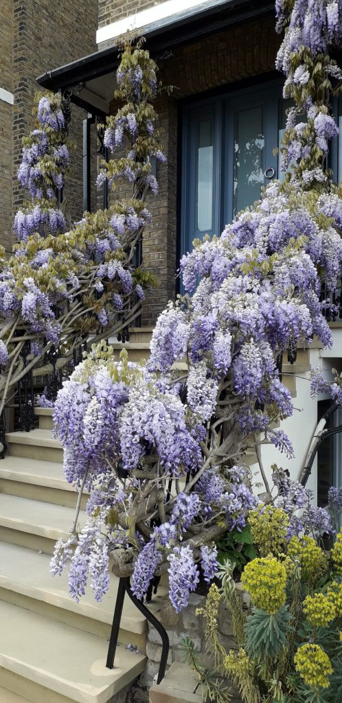 Magificent wisteria in April