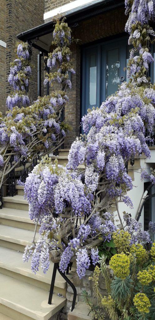 Magificent wisteria in April