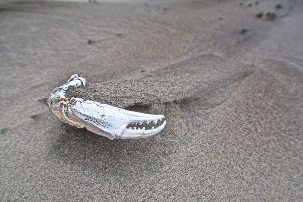 crab claw on the beach